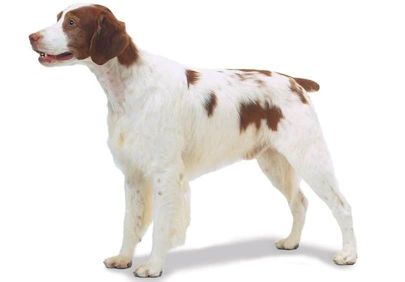 race de chien Bretagne