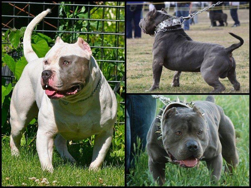 Bully races de chiens: aimer les chiens dont la réputation est injuste