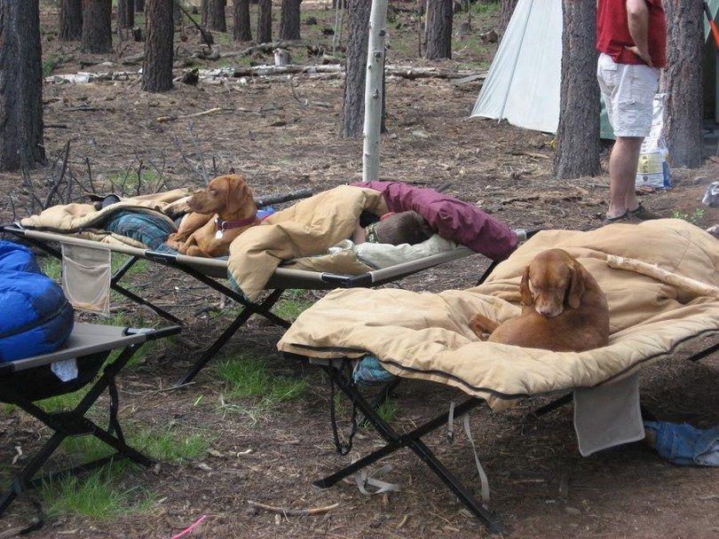 chiens de camping