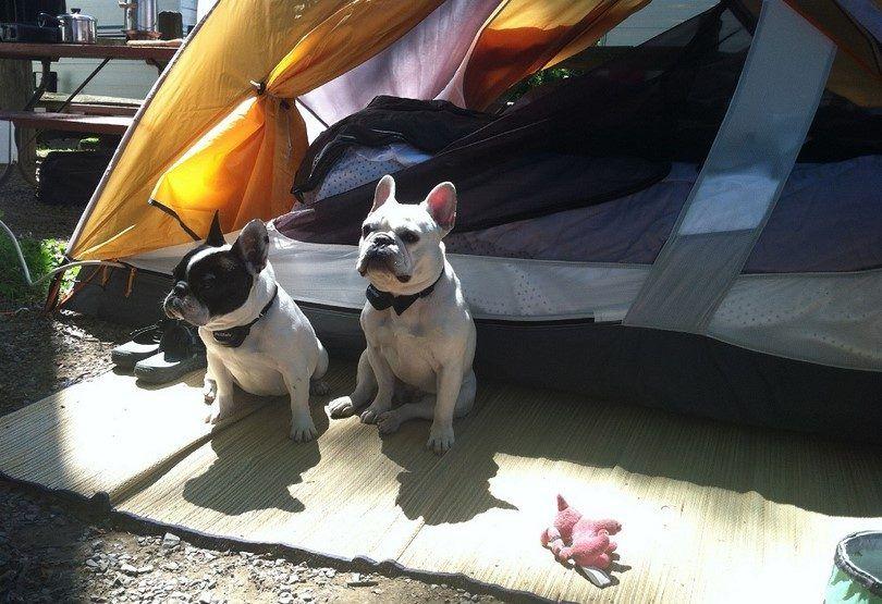 Les chiens à l`extérieur tente