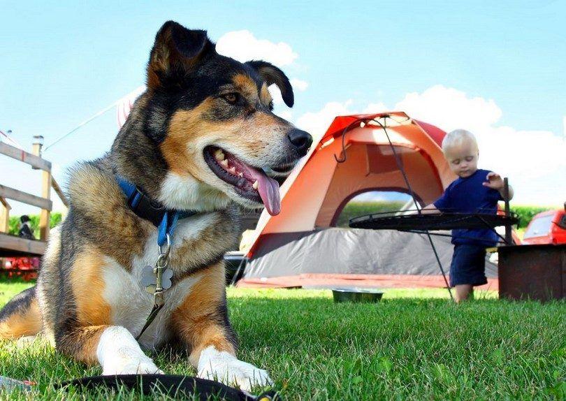 Camping avec des chiens: des conseils, des directives, à faire et à ne pas faire