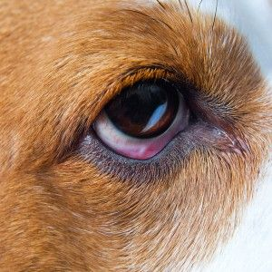 L`oeil rose chez les chiens affecte thewhite partie de l`oeil