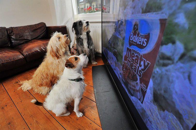 chiens peuvent regarder la télévision: quand fido a une émission préférée