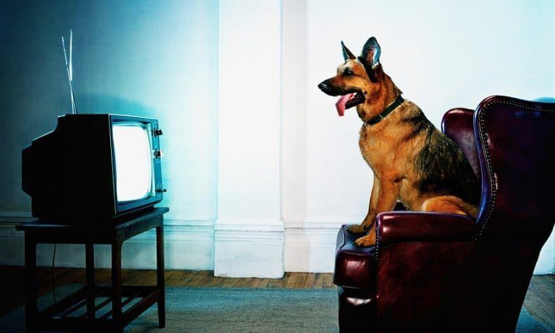 Chien de regarder la télévision