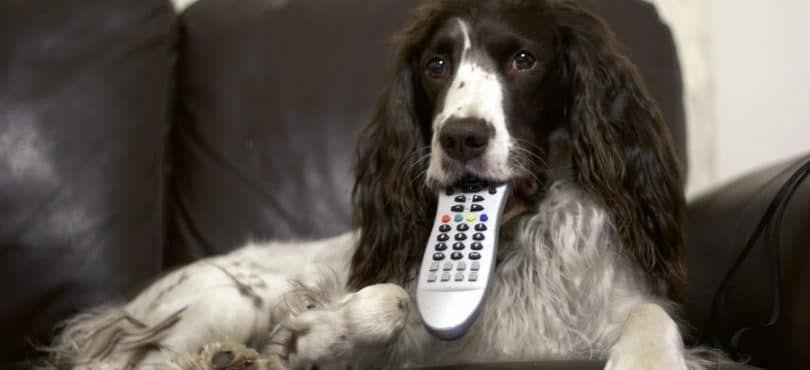 Chien Regarder la télévision