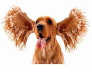 Puis-je nettoyer les oreilles de mon chien?