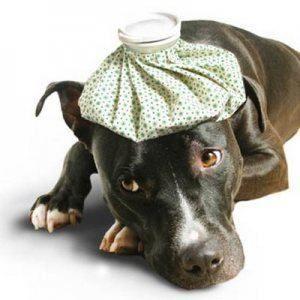 Puis-je donner mon chien un rhume?