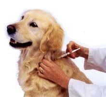 Puis-je donner mon chien une vaccination à la maison?