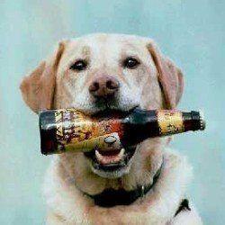 Puis-je donner ma bière de chien?