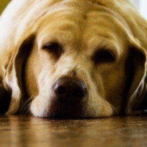 Puis-je donner mon chien des somnifères?
