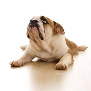 Puis-je donner mon quelque chose de chien pour l`arthrite?