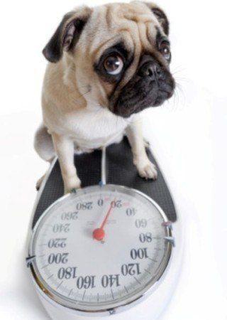 Puis-je mettre mon chien sur un régime alimentaire?