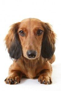 Chancre chez les chiens symptômes, les causes et comment se débarrasser de lui