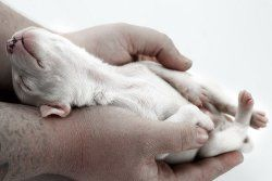 Prendre soin de nouveaux chiots nés