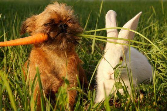 carottes pour la dentition des chiots