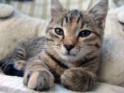 les acariens de l`oreille de chat
