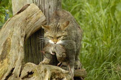 Cat tuer des proies