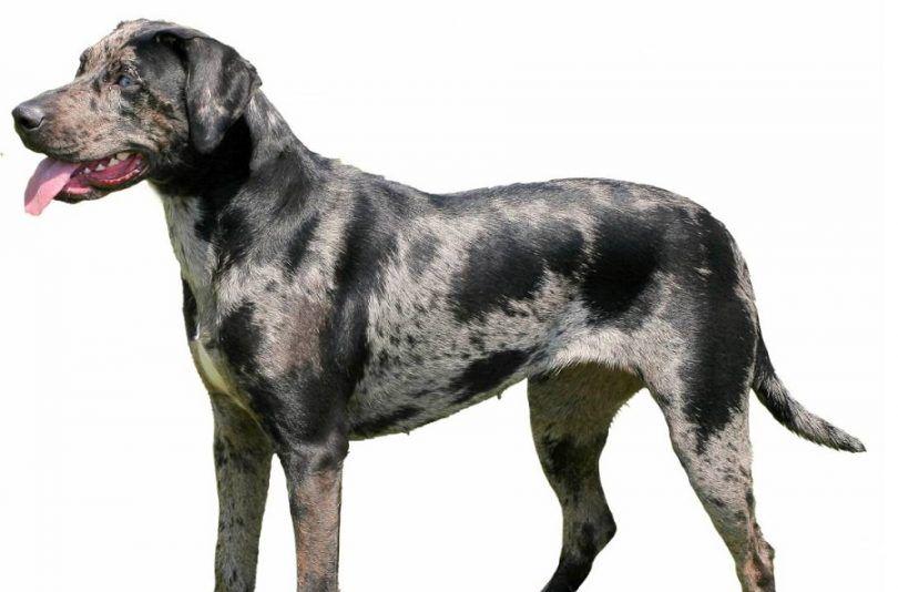 Catahoula chien de léopard
