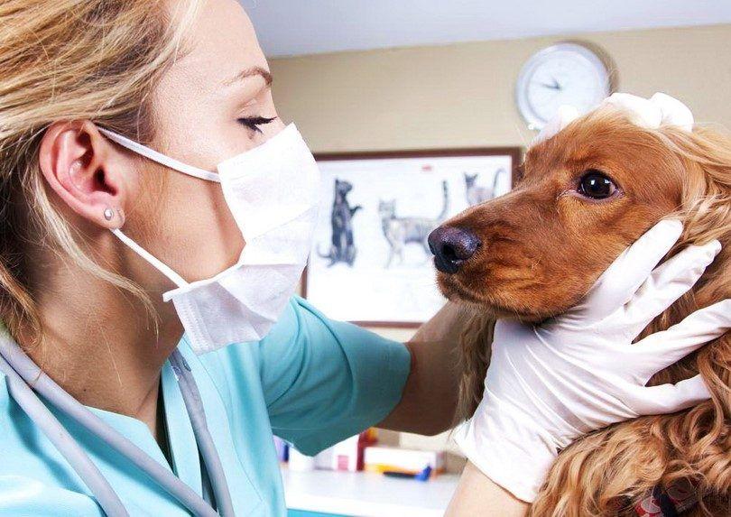 Cataractes chez les chiens: la course contre le temps