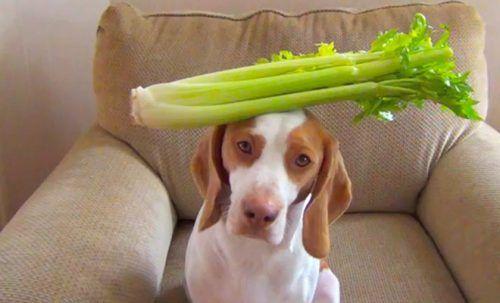 Céleri pour les chiens. Est-ce le céleri bon pour les chiens? Est-ce sûr?