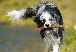 chien mouillé marcher avec un bâton