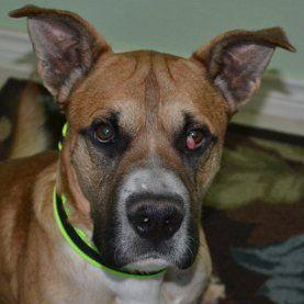 Eye Cherry - problèmes oculaires chien