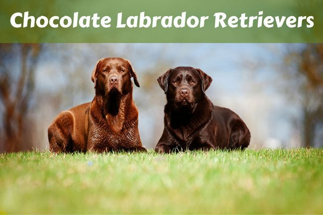 Chocolate labrador retriever faits