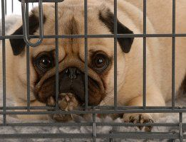 Pug dans une caisse de chien