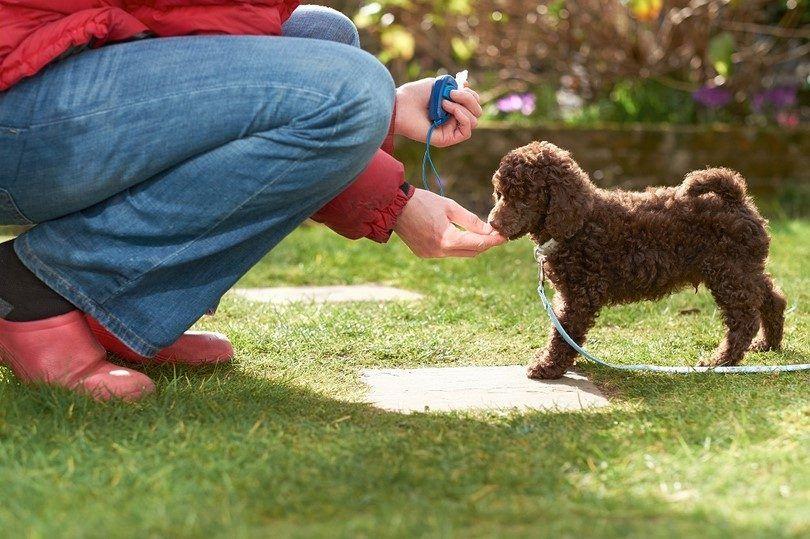 Récompenser votre chien après la formation de clicker