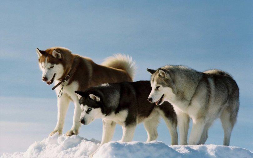 races de chiens pour la neige