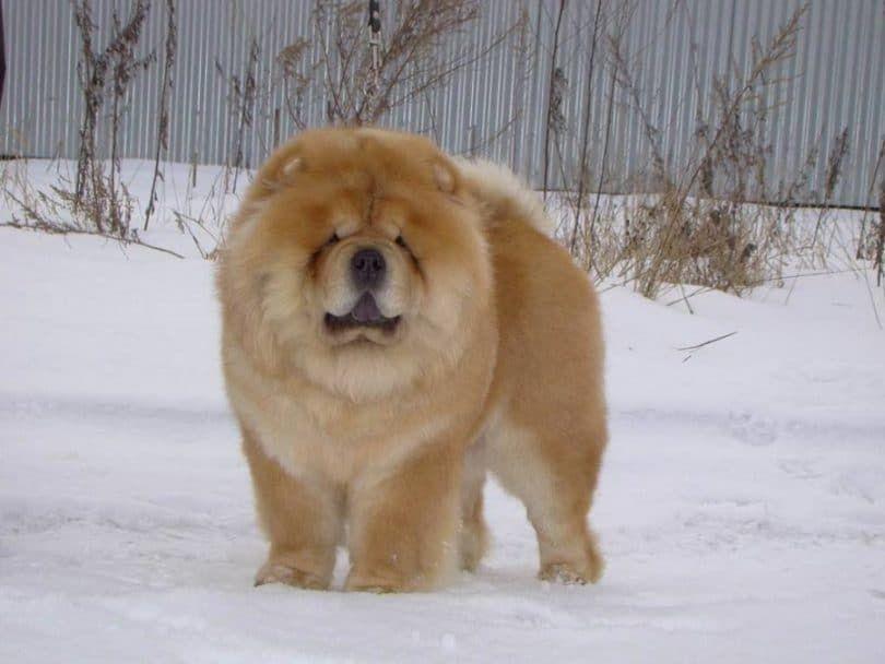Chow-chow à la neige
