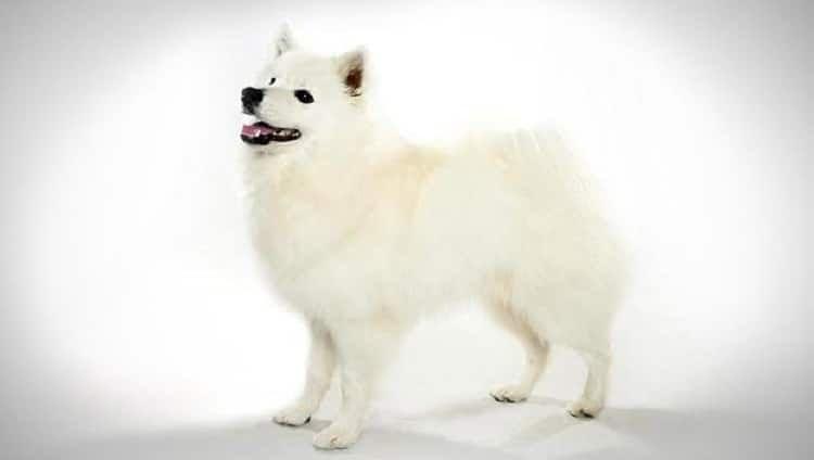 chien esquimau américain