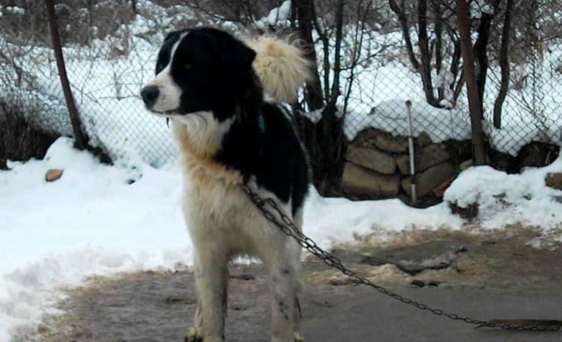 chien Karakachan Ours