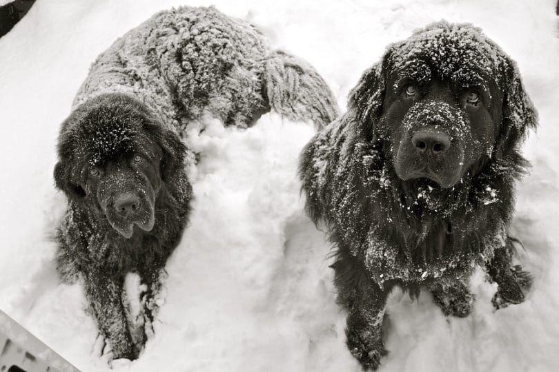 Terre-Neuve dans la neige