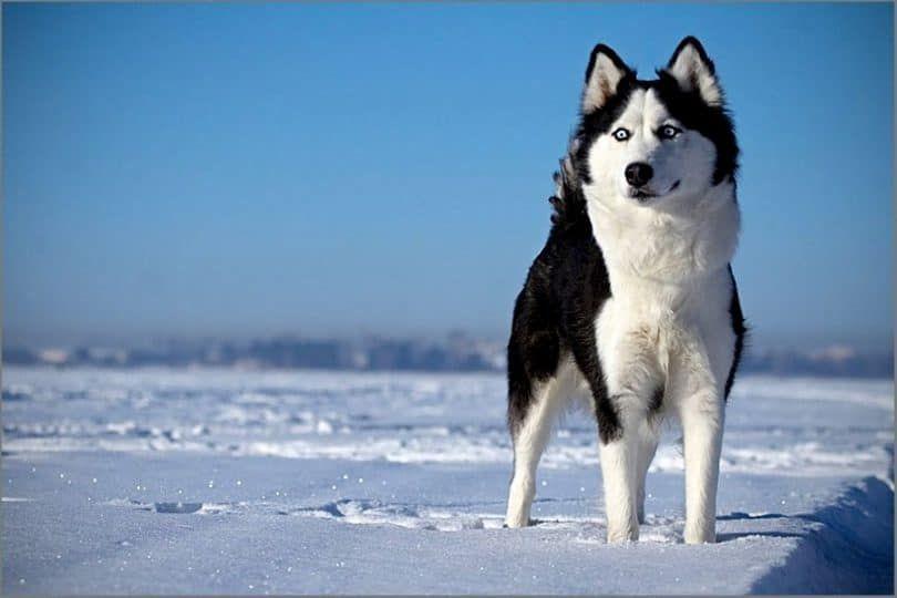 Husky sibérien sur la neige