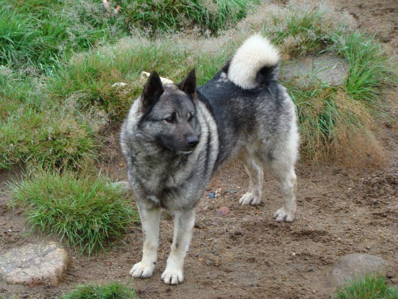Elkhound norvégien