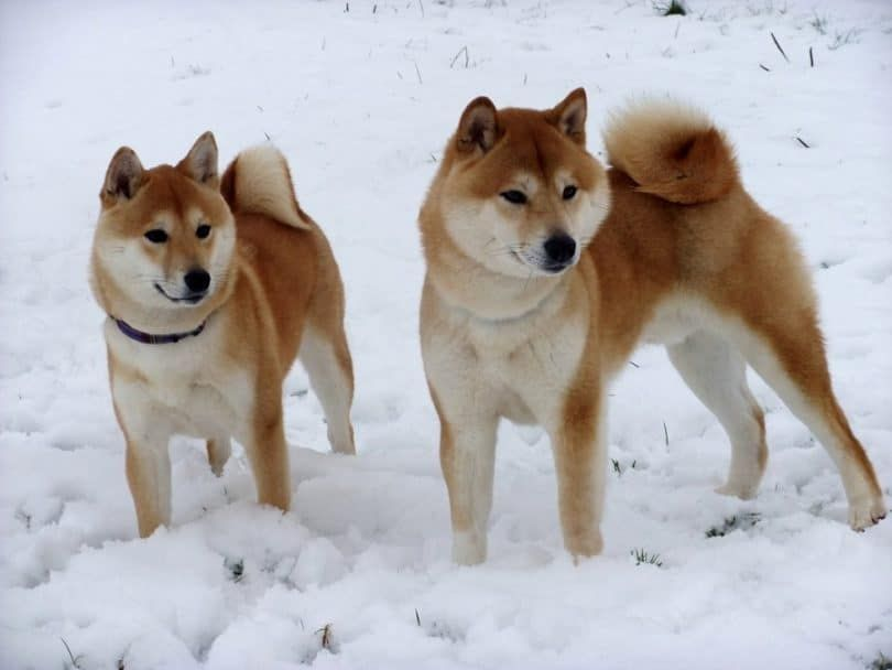 chiens Shiba Inu