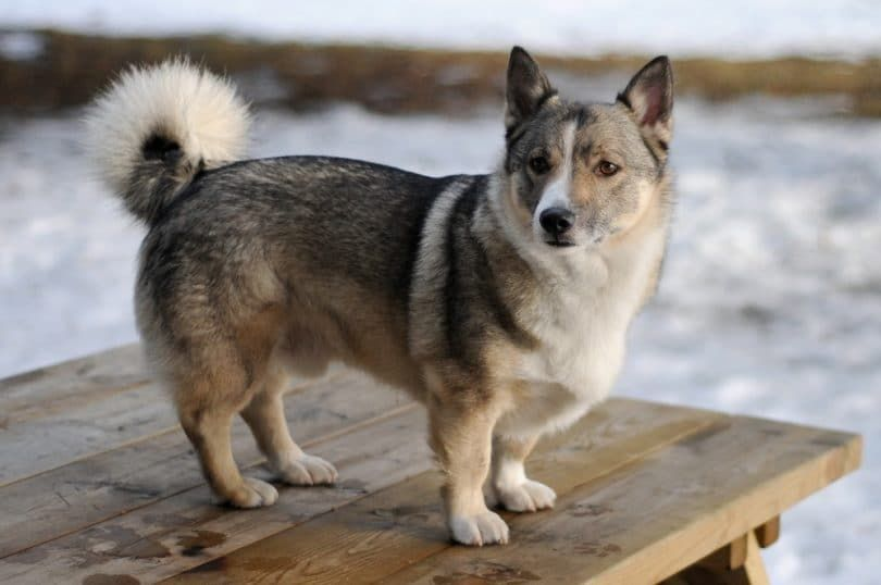 suédois Vallhund
