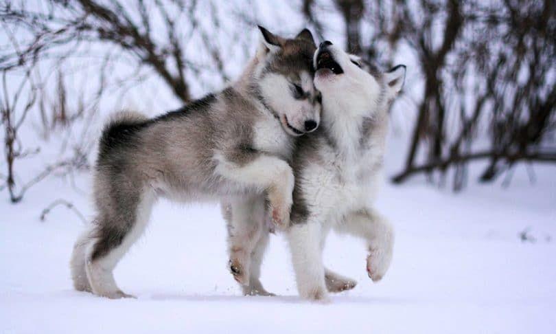 chiens Malamute d`Alaska