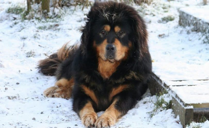Mastiff tibétain chien
