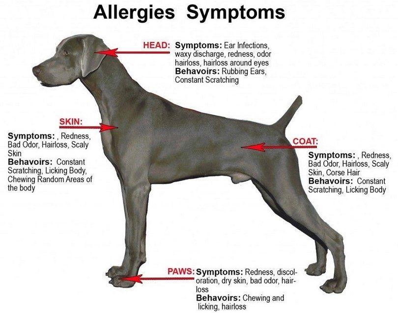 les symptômes de l`allergie chien