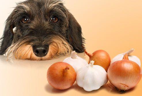 Oignons et ail aliments toxiques pour les chiens