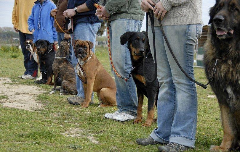 la formation des chiens de compagnie