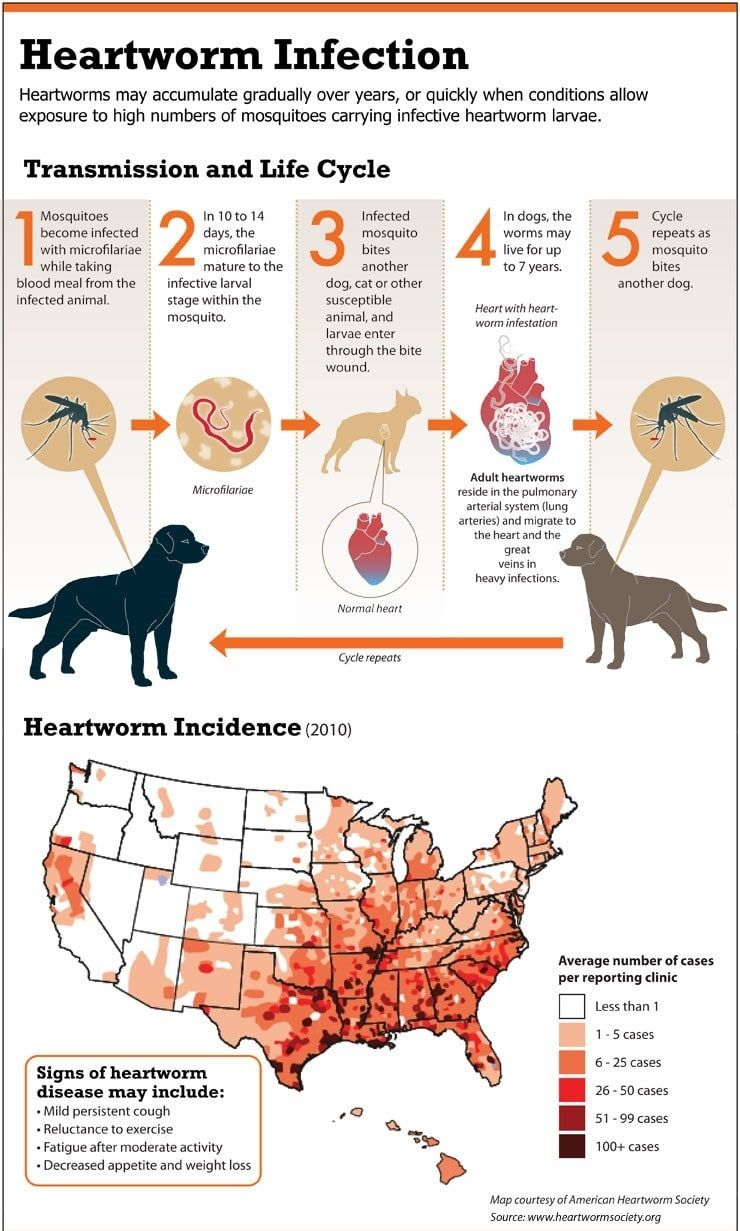 Heartworm infection infographique