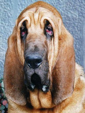 Certaines races de chiens sont plus sensibles à la conjonctivite