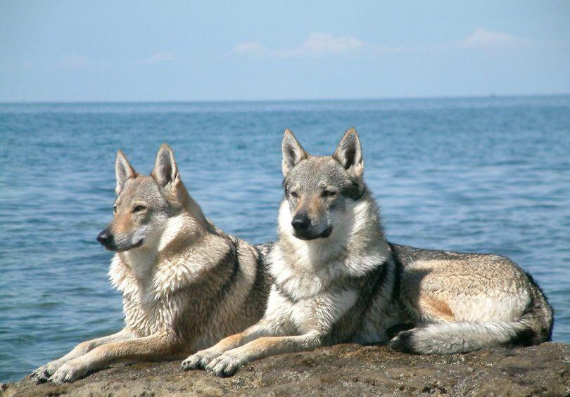 races de chien cool: chiens impressionnants que vous ne saviez même pas