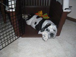 chiot endormi dans son crat