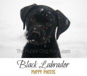 chiots labrador noir