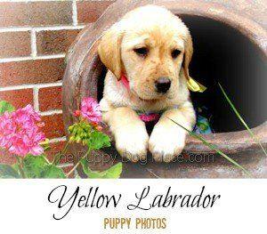 chiots de laboratoire jaune