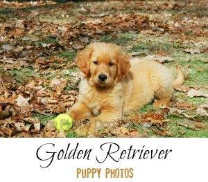 chiots Golden Retriever